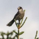 A Gray Jay on the Tanalian Falls Trail in Lake Clark National Park