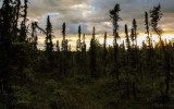 The midnight sun through the spruce trees on the Tanalian Falls Trail in Lake Clark National Park