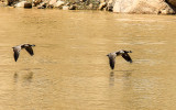 Geese fly over the Green River in Echo Park in Dinosaur National Monument