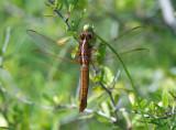 Neon Skimmer (female)