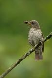 Blue-capped rock thrush - female