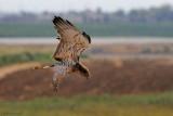 Short-toed Eagle - חיוויאי - Circaetus gallicus