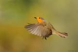 European Robin - אדום-החזה - Erithacus rubecula