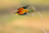 European Bee-eater - שרקרק מצוי - Merops apiaster