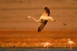 Flamingo - פלמינגו מצוי - Phoenicopterus roseus