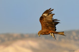 Black Kite - דיה שחורה - Milvus migrans
