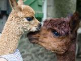 Alpaca Baby and Mum