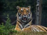 Tiger Tiger at Wingham Wildlife Park