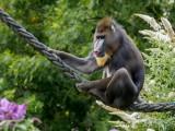 Wingham Wildlife Park - Mandrill