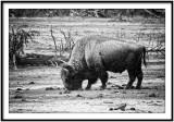 The legendary buffalo