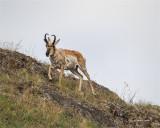 Male Antelope National Bison Range