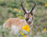 Male Antelope among the flowers, National Bison Range