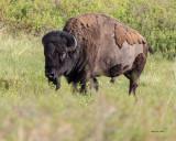 Male Buffalo, National Bison Range