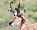 Prong-horned Antelope, National Bison Range