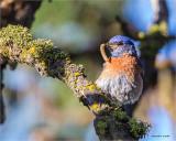 Western Bluebird, Turnbull Wildlife Refuge