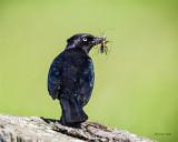 Brewers blackbird w/breakfast