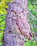 Great Horned Owl visited my back yard