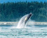 Humpback Whale Breech, Alaska