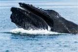 Humpback whale feeding, Alaska