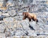 Grizzly bear Glacier Bay, AK