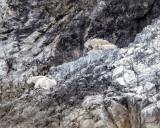 Mountain goats, Glacier Bay AK