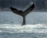 Humpback whale tail, AK