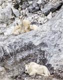 Goats on rocks Alaska