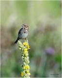 Savannah Sparrow on a Mullein