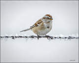 Tree Sparrow-Lincoln County