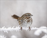 Song Sparrow-Lincoln County