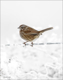 Another Song Sparrow_Lincoln County