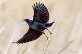 Red Wing Black Bird, Othello, WA