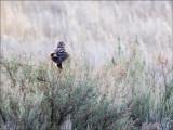 Harrier on a bush, Othello, WA