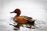 Cinnamon Teal Duck, TWLR
