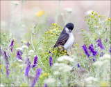 Eastern Kingbird, TWLR