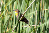 Female Golden Headed Blackbird, McNary Wildlife Refuge