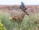 Male Mule Deer, Eastern WA