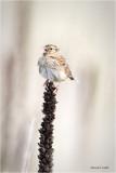 Grasshopper Sparrow, Eastern WA