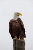 Bald Eagle Davenport WA