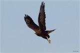 Morph-Swainsons Hawk Davenport, WA