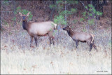 Cow & Calf Elk, TBWF