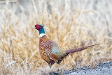 Pheasant, West of Spokane