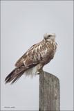 Rough-Legged Hawk, Lincoln County