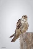 Praire Falcon, Lincoln County
