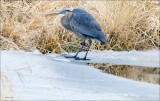 Great Blue Heron Fishing, Lincoln County
