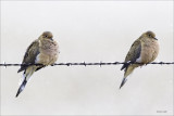 Collared Doves, Lincoln County