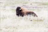 Buffalo NBR Montana