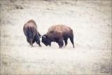 Buffalo Fight, NBR Montana