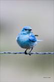 Mountain Blue bird, West of Spokane