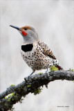 Spring Flicker sighting, Lincoln County